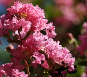 pink crepe myrtle (640x565)