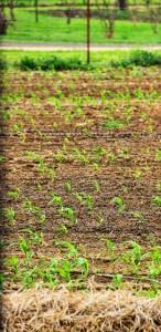 corn field new (312x640)