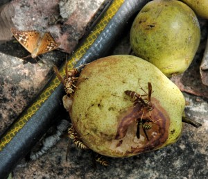 Tawny Emperor Butterfly and Yellow Jackets eating fermenting pears