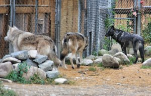 Denali, Bolz, and Luna at fence where workers were doing something