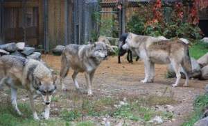 4 wolves, International Wolf Center
