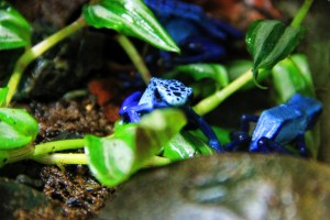 Poisonous Blue Dart Frog