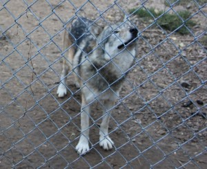 Red Wolf? Coyote? Or Grey Wolf? Or Coyote Wolf Mix?