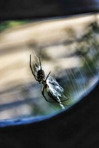 zipper spider waiting for breakfast