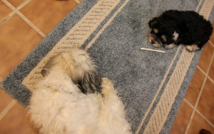 5 mo old Max & 8 1/2 week Tanner