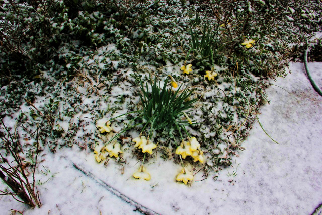 daffodils covered in snow (640x427)