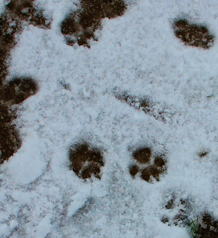 Havanese Paw Prints in Snow