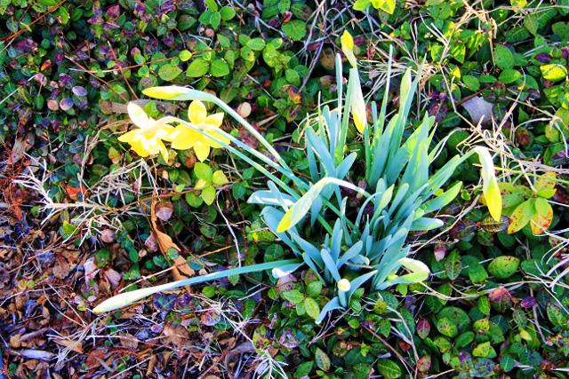 yellow daffodils (640x427)