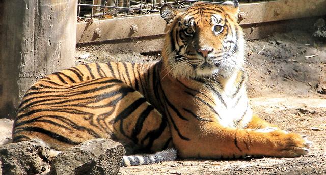 Cross Eyed Tiger (640x344)