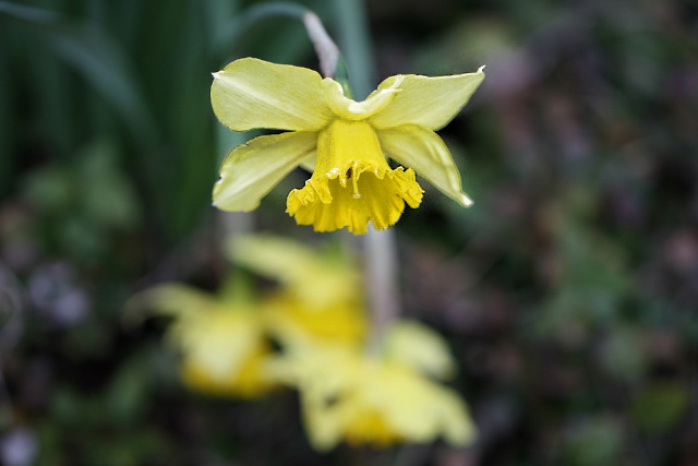 daffodil dancing (640x427) copy