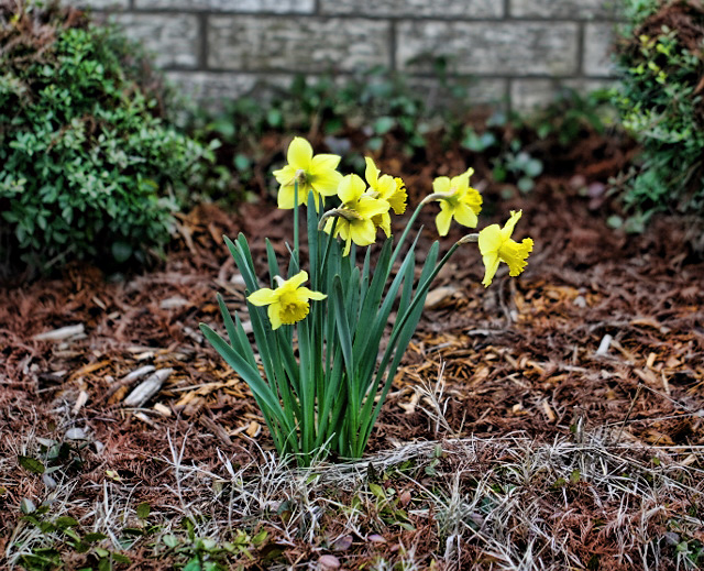 daffodils center stage (640x519) copy