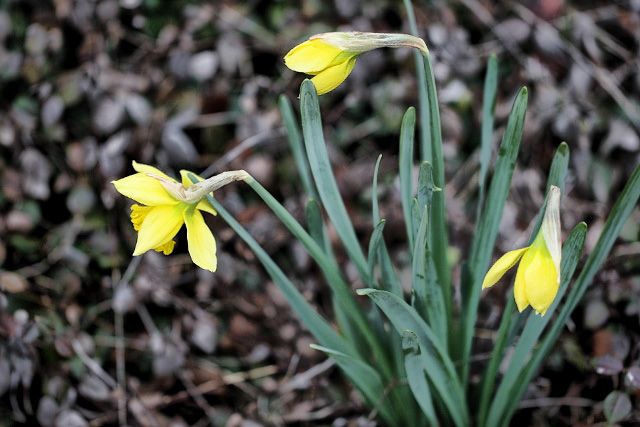 daffodils getting ready to open (640x427) copy