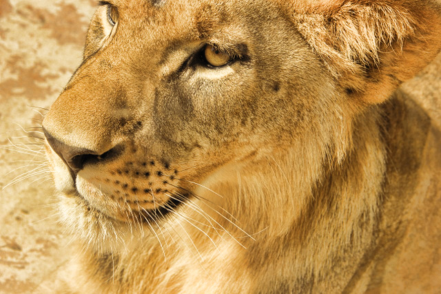 golden lion portrait (640x427)