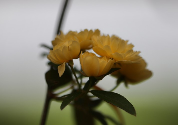 Cluster of Miniature Yellow Roses