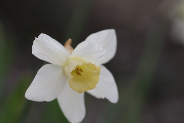 white daffodil (2) (640x427)