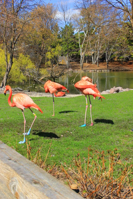Flamingos and their shadows (2) (427x640)