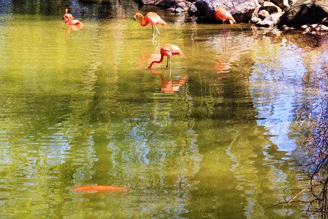 Pelicans and their Reflections and a Koi