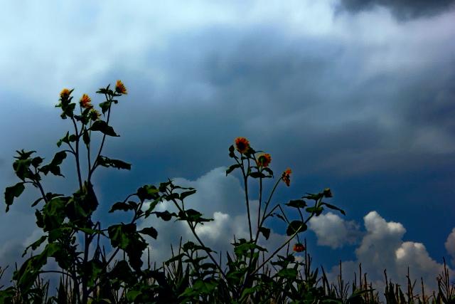 closer up sunflowers storms blue