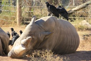rhino and vulture (640x427)