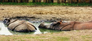 Hippos Bathing (800x356)