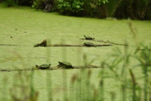 Focus on Turtles
