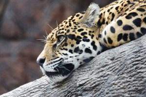 Jaguar waiting for turtles to grow bigger