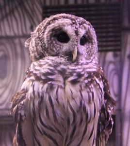 Owl 3 Cameron Park Zoo