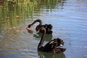 Black Swans, Texas