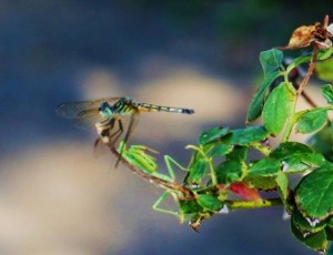 Blue, blue dragonfly and the praying mantis