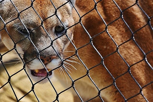 cougar close up teeth whiskes (640x427)