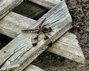Dragonfly, Brown and Gold