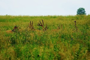 elk antlers in the grass (640x427)