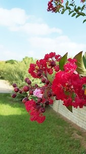 Red crepe myrtle flowers with one pink flower