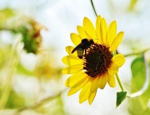 Sunflower and the Bumblebee, macro shot