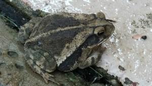 Toad sitting on sidewalk