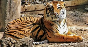Cross-eyed Tiger