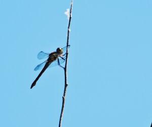 dragonflies 007