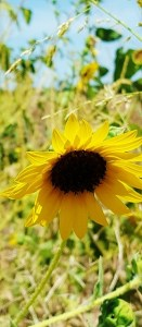 sunflower bending (279x640)