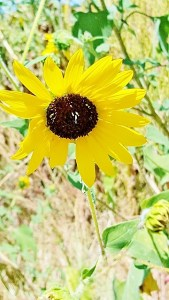sunflower ragged (360x640)