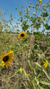 sunflowers end of the season (360x640)