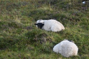 2 Black Faced Sheep Isle of Skye