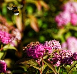 bee in flight (640x617) (2)