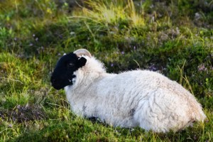 black faced sheep (640x427)