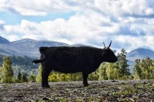 black Highland cow (640x427)