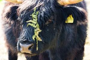 black Highland cow portrait with bracken (640x427)