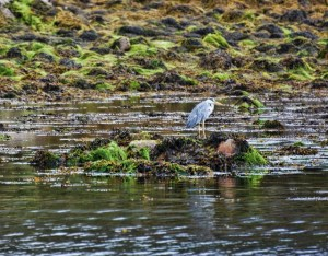 Gray Heron near castle ruins