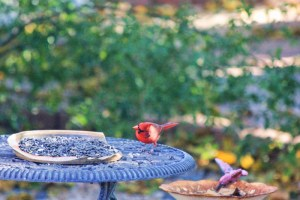 male cardinal head cocked 008 (800x533)
