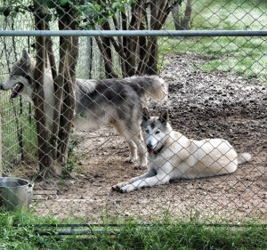 More Wolf Dogs