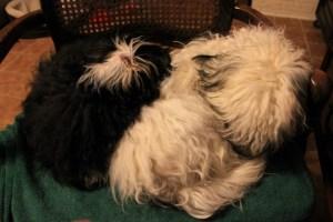 Puppies morning nap (640x427)