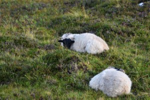 2 black faced sheep in Scotland near a lighthouse in the Isle of Skye